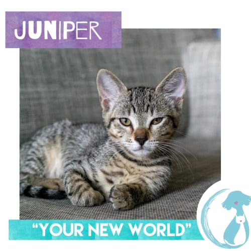 Juniper - Domestic Short Hair Cat