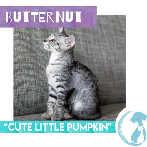 Butternut  - Domestic Short Hair Cat