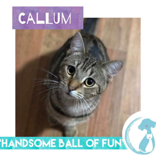 Callum - Domestic Short Hair Cat