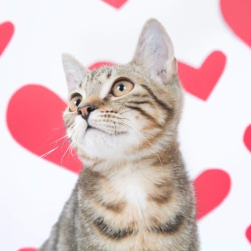 Arrow - Domestic Short Hair Cat