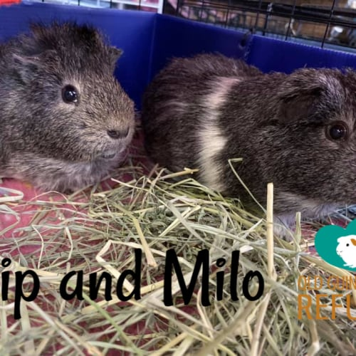 Pip and Milo (indoor home with no children) - Smooth Hair x Crested Guinea Pig
