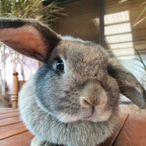 Monroe - Domestic Rabbit