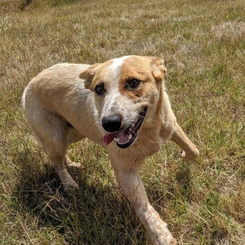 Rodney - Red Heeler Dog