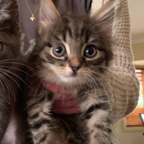 Tabitha - Domestic Long Hair Cat