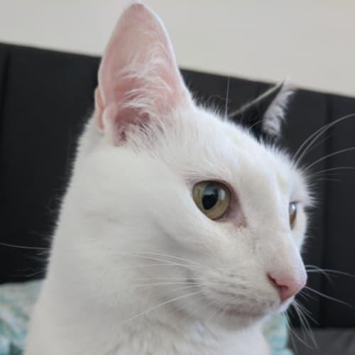 Yuki - Located in Richmond - Domestic Short Hair Cat