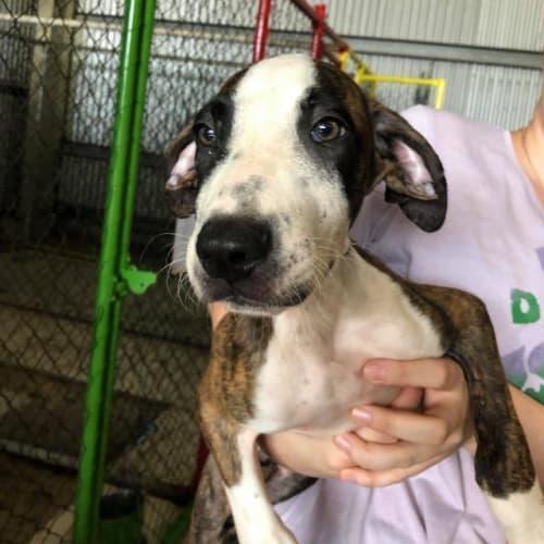 Chewy - Bull Arab x Mixed Breed Dog