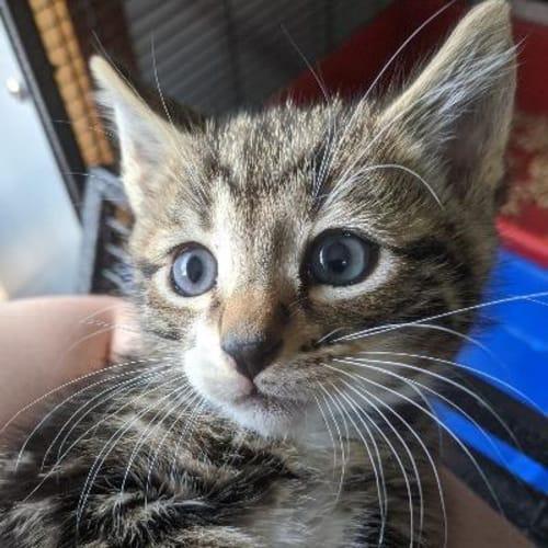 Bolt  932801 - Domestic Short Hair Cat