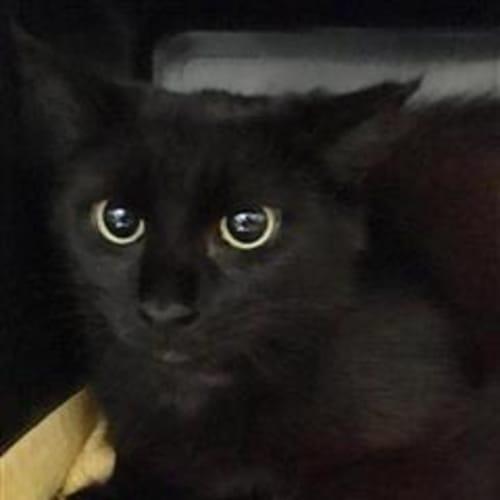 Rowena  932417 - Domestic Medium Hair Cat