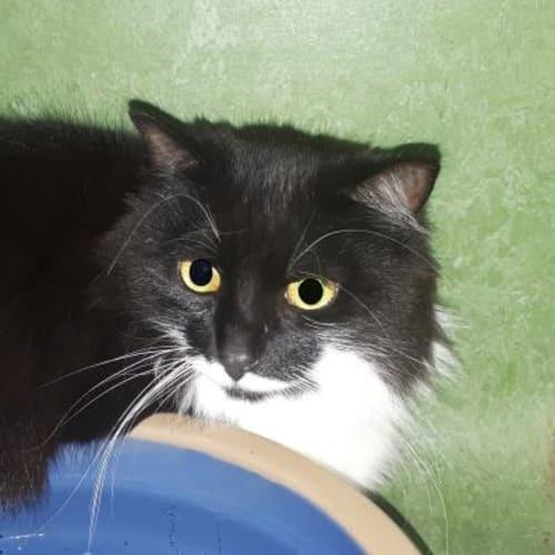 Mittens  936145 - Domestic Medium Hair Cat