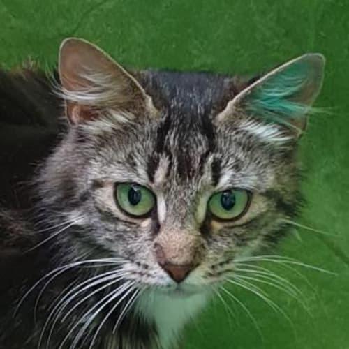 Primrose  935764 - Domestic Medium Hair Cat