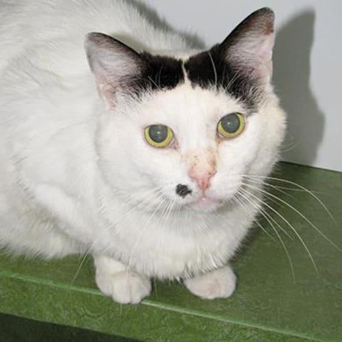 Loki  932761 - Domestic Short Hair Cat