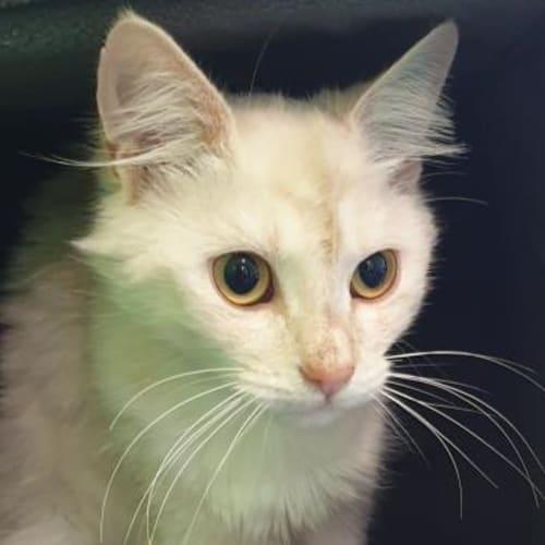 Shandii  935616 - Domestic Medium Hair Cat