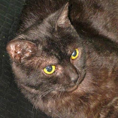 Phoenix  927176 - Domestic Short Hair Cat