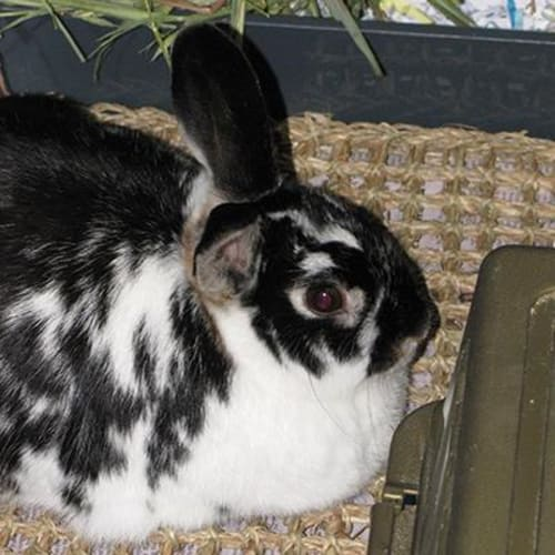 Bella  936332 - Domestic Rabbit