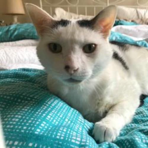 Toby  893339 - Domestic Short Hair Cat