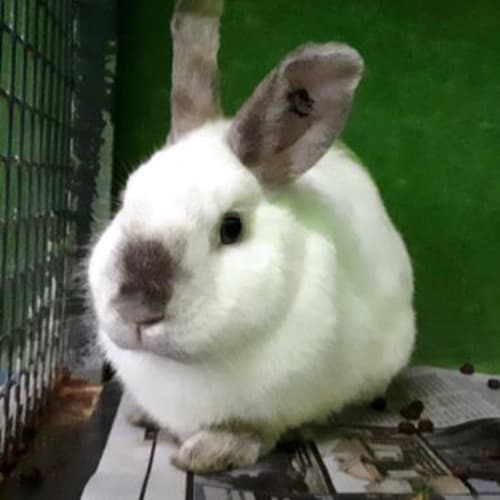 Chopper  934254 - Domestic Rabbit