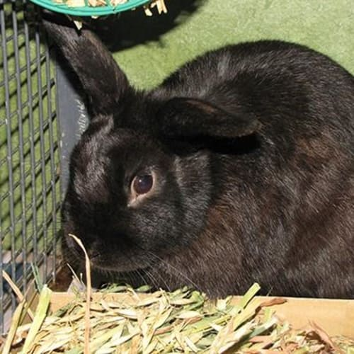 Athensn  935680 - Domestic Rabbit