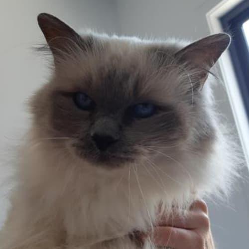 Priscilla  934231 - Birman Cat