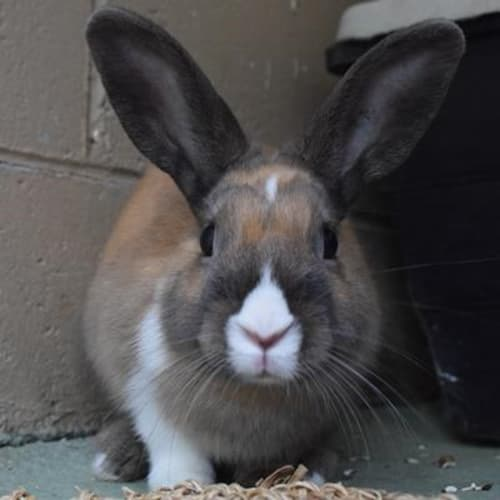Brodie  930667 - Domestic Rabbit