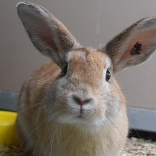 Gracie  935813 - Domestic Rabbit