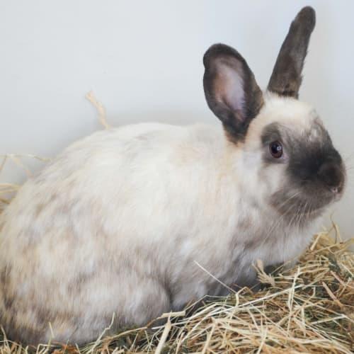 Bikkie -  Rabbit