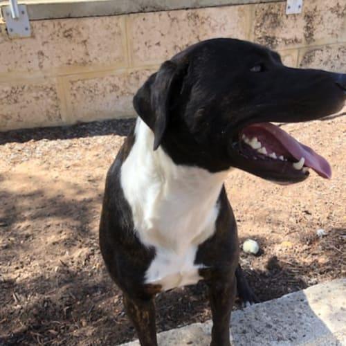 Bert - Mastiff x Staffy Dog