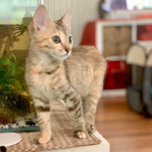 Duckie - Domestic Short Hair Cat