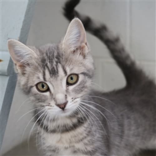Lily 936580 - Domestic Short Hair Cat