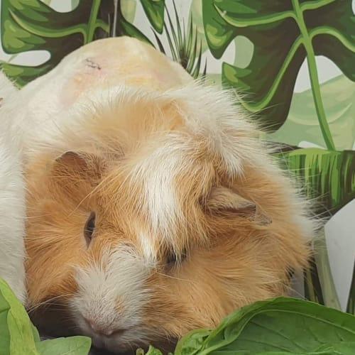 Ninja - Abyssinian x Peruvian Guinea Pig
