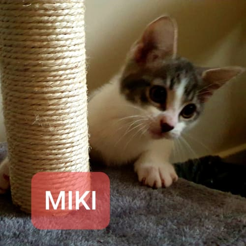 Miki - Domestic Short Hair Cat