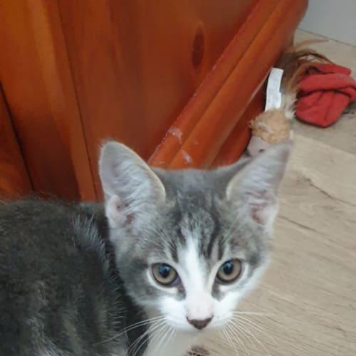Miki - Domestic Short Hair Cat