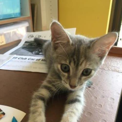 Mavis - Domestic Short Hair Cat