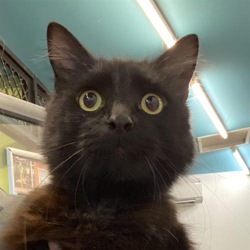 Ninja - Domestic Longhair Cat