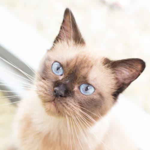 Peugeot - Burmese Cat