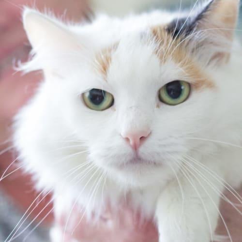 Audi - Domestic Medium Hair Cat