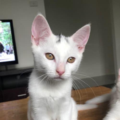 Alaska - Domestic Short Hair Cat