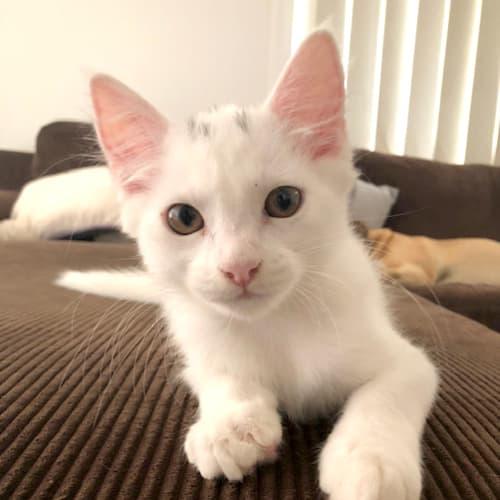 Chip - Domestic Medium Hair Cat