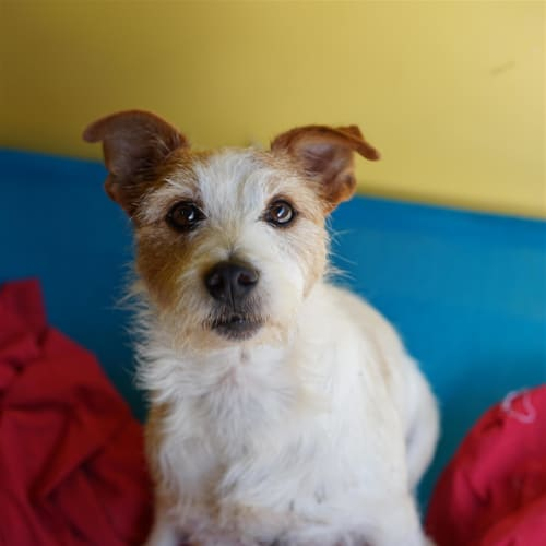 Dobby - Wirehaired Jack Russell Terrier Dog