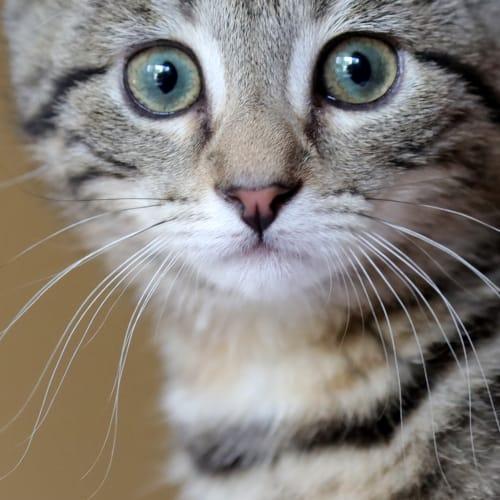 Soda  - Domestic Short Hair Cat
