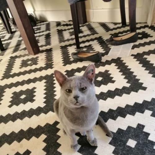 Oscar - Burmese Cat
