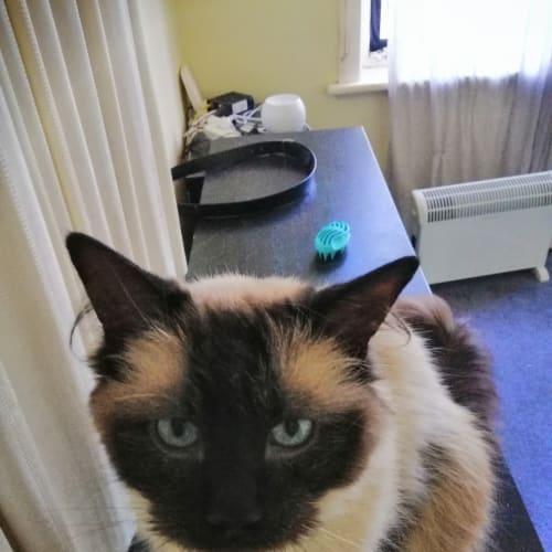 Sheldon - Ragdoll Cat