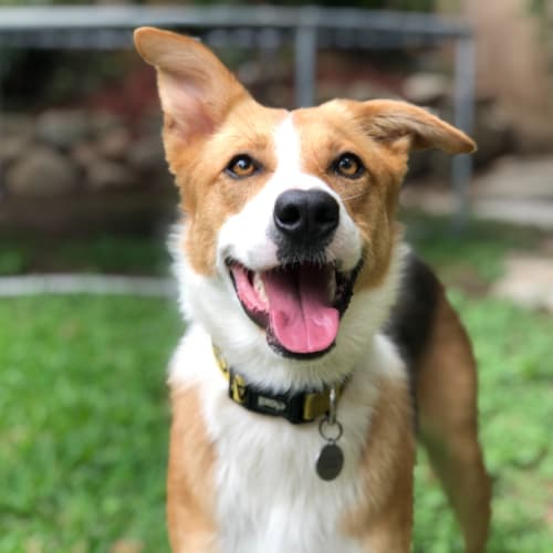 Jet - Kelpie x Border Collie Dog