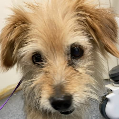 Milo - Australian terrier Dog