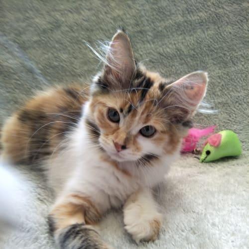 Zoe - Domestic Medium Hair Cat