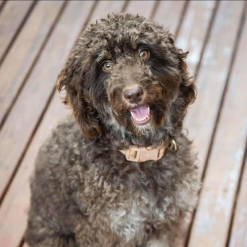 Jasmine - Poodle Dog
