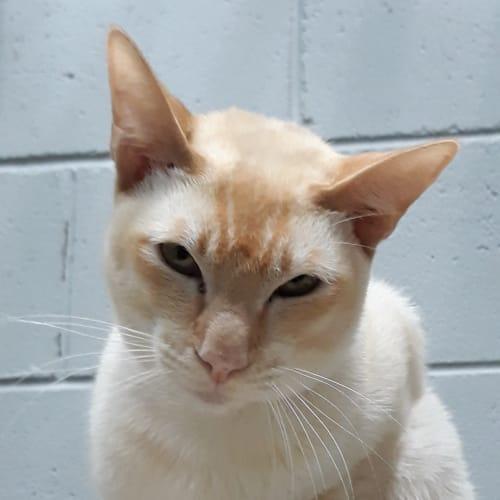 Rex - Tonkinese Cat