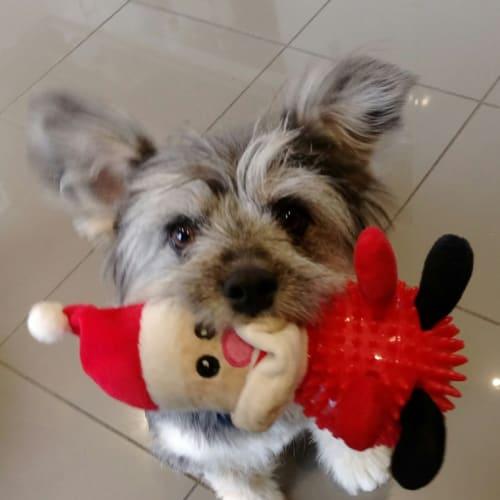 Merry - Maltese x Shih Tzu Dog