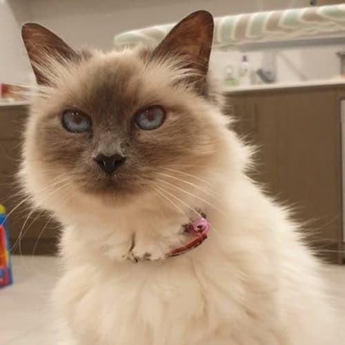 2200 - Bella - Birman Cat
