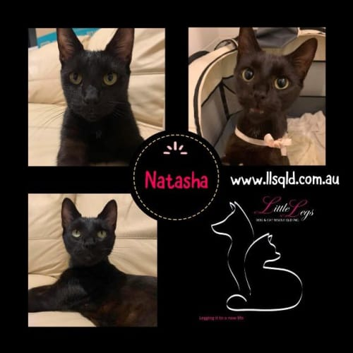 Natasha - Domestic Short Hair Cat