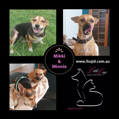 Minnie / Mikki - Chihuahua x Mixed Breed Dog